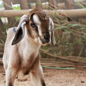 baby_goat